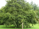 1 Common Alder Hedging, Alnus Glutinosa 3-4ft Trees, Great For Wildlife & Shade