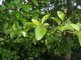 5 Grey Alder Trees, Alnus Incana 90-125cm Hedging, 3-4ft Tall 2yr Old Plants