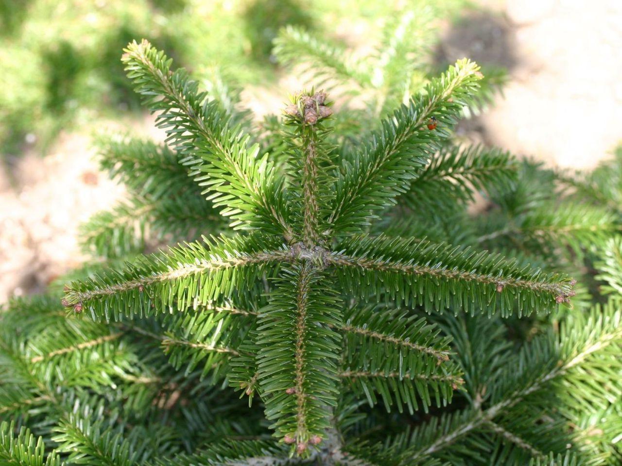 3 Nordmann Fir Christmas Trees 15-20cm.Britains Best No Needle Drop ...