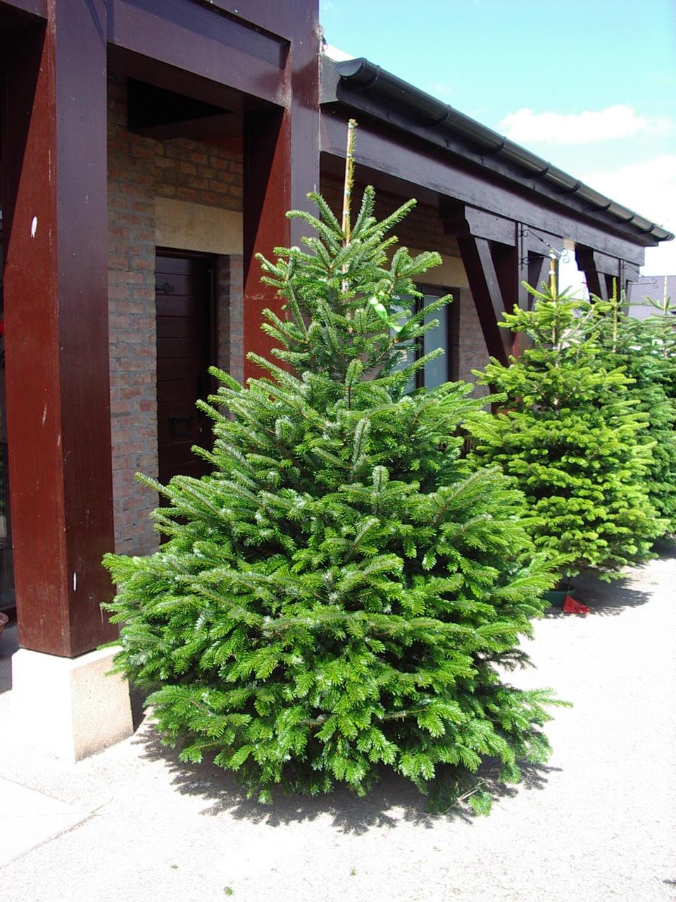 1 Nordmann Fir Christmas Tree 15-20cm.Britains Best No Needle Drop ...