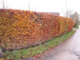 1 Green Beech Hedging 1-2ft Tall in 1L Pots, Fagus Sylvatica Trees,Brown Winter Leaves
