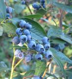 3 'Dixi' Blueberry Plants / Vaccinium cor. 'Dixi' 25cm In 9cm Pots