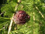 25 European Larch 40-60cm,Larix Decidua Plants,Native Tree With Seasonal Colours