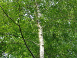 20 Silver Birch Native Trees 60-90cm,Native Betula Pendula, 2 Years Old, 2-3ft