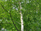5 Silver Birch 6-8ft Stunning  Mature Specimen Trees, Betula Pendula 200cm