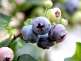 1 'Bluejay' Blueberry Plant / Vaccinium cor. 'Bluejay' 25cm in 9cm Pot