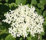 25 Elder Flower Hedge Plants 2-3ft,Make Elderberry Wine & Elderflower Lemonade