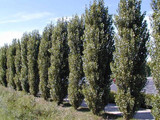 25 Lombardy Poplar / Populus Nigra Italica Trees 3-4 FT Quick Native Wind Break