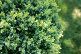 3 Common Box / Buxus Sempervirens, 20-25cm Hedging Plants, Evergreen