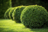 3 Common Box / Buxus Sempervirens, 30-40cm Hedging Plants, Evergreen