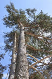50 Scots Pine Trees 1-2ft Tall,Native Evergreen, Pinus Sylvestris 3yr old plants