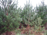 100 Scots Pine Trees 1ft Tall,Native Evergreen, Pinus Sylvestris 3yr old plants