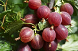 1 Red Gooseberry Plant /Uva Crispa 'Hinnonmakii Red' 3-5 Branches,Ready to Fruit