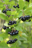 1 Aronia Melanocarpa Fruit Bush 2ft Tall  'Superfood With Antioxidants'