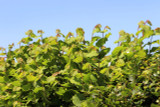 5 Hazel Plants,Flowering Edible Nut Hedge,2-3ft Wildlife Friendly Hedge60-90cm