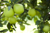 Granny Smith Apple Tree 4-5ft In 5L Pot Ready to fruit,Self-Fertile
