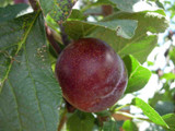 Plum Reine Claude d'Althan, 4-5ft Tall, Large Purple Tasty Fruit,Lovely Flowers