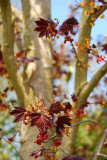 Maple 'Crimson King' / Acer Platanoides 'Crimson King' 4-5ft Tall, Stunning Colours