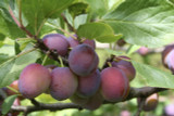 Opal Plum Tree 4-5ft Tall, Self-Fertile, Tasty & Sweet, Ready to Fruit