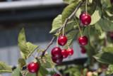 10 Wild Cherry Tree 2-3ft Stunning Blossom, Edible Cherries & Wild Bird Food