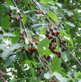 10 Bird Cherry Trees,Flowering &  Berries,2-3 ft Prunus Padus,Birds Love Them