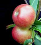 Crimson Bramley Apple Tree 4-5ft Tall, Excellent Sharp Cooker