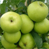 Greensleeves Apple Tree 4-5ft, in a 5L Pot, Self-Fertile,Sweet,Crisp & Juicy
