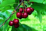 'Lapins' Cherry Tree 4-5ft, Self-Fertile & Ready to Fruit, Heavy Cropper