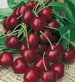 Burlat Cherry Tree 4-5ft, Dark Red, Sweet & Juicy Cherries,Ready to Fruit
