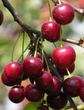 Merton Premier Cherry Tree 4-5ft Tall, Large, Dark Red, Sweet & Juicy Cherries