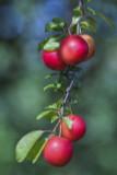 5 Cherry Plum Trees / Prunus Cerasifera / Myrobalan, 2-3ft Tall, Edible Hedging