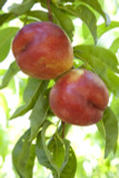 Dwarf Patio Nectarine Tree, In a 5L Pot, Miniature Self-Fertile & Heavy Cropping