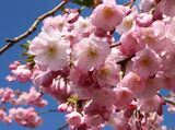 Flowering Cherry / Prunus Accolade 4-5ft, Most Reliable & Prettiest Cherry
