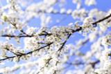 Cherry Shirotae / Prunus Serrulata Shirotae 4-5ft,  White Semi-Double Flowers