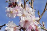 Prunus Autumnalis Rosea /Winter-Flowering Cherry,4-5ft Tall, Semi-Double Flowers