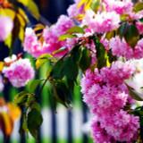 Cheal's Weeping Pink Flowering Cherry Tree 5-6ft, in a 5L Pot, P.Serrulata Kiku Shidare Zakura