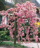 Cheal's Weeping Pink Flowering Cherry Tree 4-5ft, in a 5L Pot, P.Serrulata Kiku Shidare Zakura