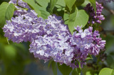 3 Branched Lilac Trees 40-60cm Tall Shrubs, Fragant Purple Flowers, Syringa Vulgaris