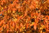 American Sweetgum (Redgum) / Liquidambar Styraciflua 2-3ft Tall
