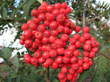 Mountain Ash (Rowan) 'Edulis' / Sorbus Aucuparia, 4-5ft Tall