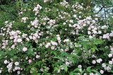 'Paul's Himalayan Musk' Rambling Rose