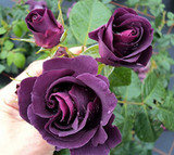 'Rhapsody in Blue' Fragrant Floribunda Rose