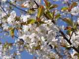 7 Wild Cherry Trees 4-5ft Stunning Blossom, Edible Cherries & Wild Bird Food