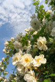 'Rambling Rector' Rambling Rose, With Clusters OfCcreamy Semi-Double Flowers