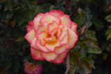 'Sheila's Perfume' Fragrant Floribunda Rose Striking Bloom Yellow Edged With Red