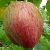 Bloody Butcher Old Irish Apple Tree 4-5ft tall, 3 Years Old Specimen