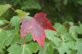 Acer rubrum  / Red Maple, 80-100cm Tall In 3L Pot, Stunning Autumn Colours