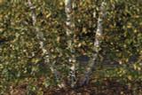3 Silver Birch Betula utilis Jacquemontii, 2-3ft Multistemmed Trees In 3L Pots