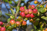 Crab Apple Malus 'Red Sentinel' 4-5ft Tall, Make your Cider & Jelly