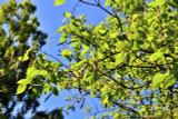 Catalpa Bignonioides 60-90cm Tall, Indian Bean Tree, Stunning Green Leaves